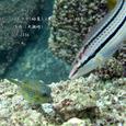 2006.09.17.大瀬崎-2.湾内.ハコフグ(幼魚)&キュウセン(幼魚)