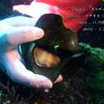 2007.02.11.初島-2.イサキネ.ネコザメ(卵).1