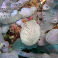2007.02.25.大瀬崎-1.外海.アオサハギ(幼魚)