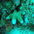 2007.06.10.Menjangan-1.Coral Garden.カワテブクロ