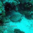 2007.06.10.Menjangan-2.Turtle Wall.アオウミガメ.1
