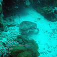 2007.06.10.Menjangan-2.Turtle Wall.アオウミガメ.2