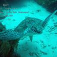 2007.06.10.Menjangan-2.Turtle Wall.アオウミガメ.4