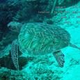 2007.06.10.Menjangan-2.Turtle Wall.アオウミガメ.5