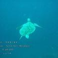2007.06.10.Menjangan-2.Turtle Wall.アオウミガメ.6