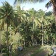 2007.06.11.Bali-2.Tegallalang.ココヤシ