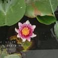 2007.07.08.行田-古代蓮の里.ヒツジグサ.1