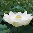 2007.07.08.行田-古代蓮の里.西光寺白蓮.2