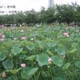 2007.07.08.行田-古代蓮の里.行田蓮.3