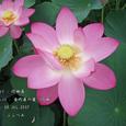 2007.07.08.行田-古代蓮の里.行田蓮.4