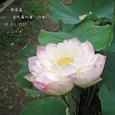 2007.07.08.行田-古代蓮の里.錦蘂蓮