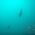 2007.08.13.井田-2.井田ビーチ.アオリイカ.2