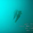 2007.08.13.井田-3.井田ビーチ.アオリイカ.05