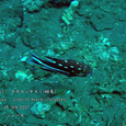 2007.06.09.Tulamben-2.Liberty Wreck.ホホスジタルミ(幼魚).1