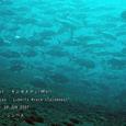 2007.06.09.Tulamben-2.Liberty Wreck.ギンガメアジ(群れ).2