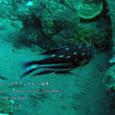 2007.06.09.Tulamben-2.Liberty Wreck.ホホスジタルミ(幼魚).2